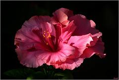 Un des derniers frou-frou roses !