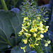broccoletti in fiore