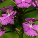 Platanthera grandiflora (Large Purple Fringed orchid) - note green pollinarium on stigma