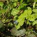 20170409 0406CPw [D~PB] Faulbaumbläuling (Celastrina argiolus), Steinhorster Becken, Delbrück
