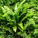 20190614 5334CPw [R~GB] Hirschzunge (Phillitis scolopendrium), Wales