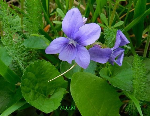 Violettes****************