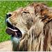 Lion d'Angola