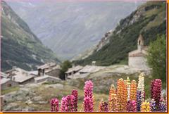 Lupins - fonds de la vallée de Hte Maurienne