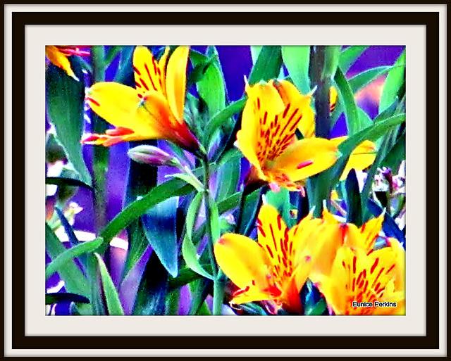 Golden Lilies.
