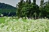 Der Wiesenkerbel blüht - The cow parsley is blooming - HFF