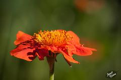 172/366: Orange Marigold