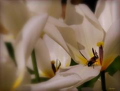 Visiteuse au cœur de la tulipe !