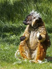 Portrait black lemur