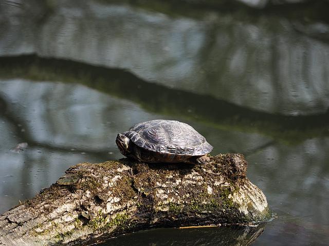 turtle ohne Tiger