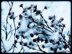 La neige sur les branches...
