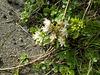 gdn - Sedum (stonecrop)