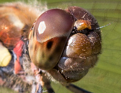 20150821 8579VRMw [D~RI] Große Heidelibelle (Sympetrum striolatum),  Rinteln