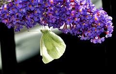 Small White. Pieris rapae
