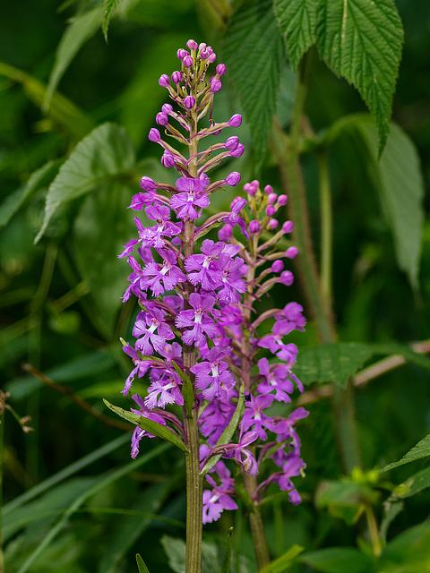 Platanthera psycodes (Small Purple Fringed orchid)
