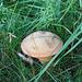 Pilz im Gras