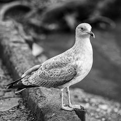 Gull in black and white