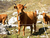 HFF from an electric fence and  Swiss  Mountain cows