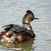 Eared Grebe with baby