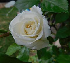 Rose pour vous************