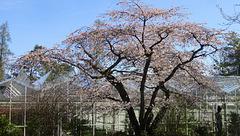 ... under the cherry tree
