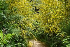 Goldregen - Golden Rain - Pluie d'or