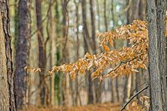 Oak Leaves, January