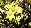 Premier arbuste en fleurs ici / First bush in bloom here
