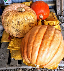 Extremely Large Pumpkins