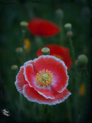 Pictures for Pam, Day 121: Lovely Poppies