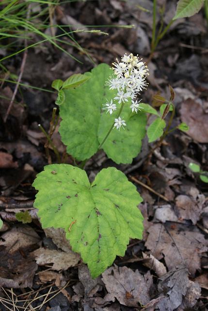 tiarelle/coolwort/tiarella cordifolia