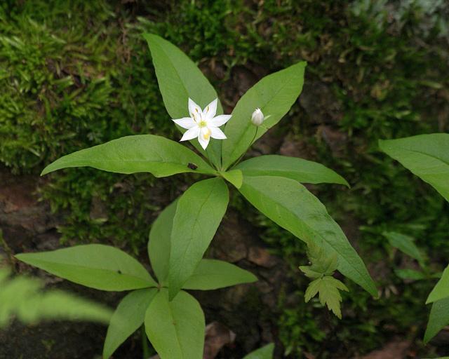 trientale boréale/star-flower1trientalis borealis