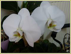**Mon orchidée **