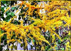 Lärche im Herbst... ©UdoSm