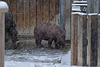 Mama ist weg - Nashörnchen im Schnee II (Wilhelma)