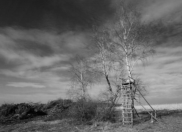 Birken - Birches - Bouleaux