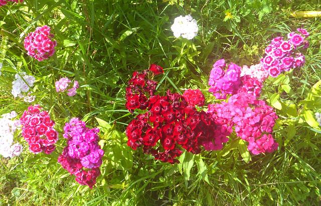 Bartnelken in meinem Garten - diantoj en mia ĝardeno