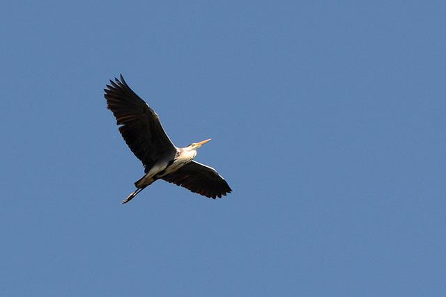 Киев, Цапля в полете над островом Ольгин / Kiev, Heron in flight over Olghin Island