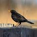 EOS 90D Peter Harriman 12 56 19 58163 blackbird dpp