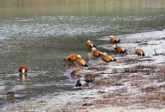 Rostgänse am Schlosssee