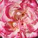 Macro Mondays 161: petals/ Blütenblätter/ pétales