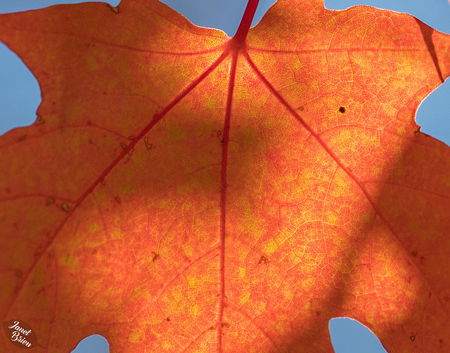 Glorious Maple Leaf Details and Fall in Medford Parking Lots (Set 6) (+7 insets!)