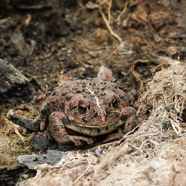 Western Toad / Boreal Toad / Bufo boreas