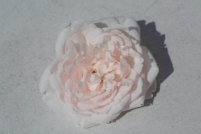 Rose 50 + 11 : blues dream