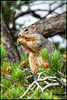 Squirrel female eating a juniper berry