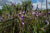 Linaria amethystea, Lamiales