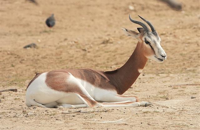 Frêle gazelle