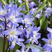 Frühlingslume Blue Giant...