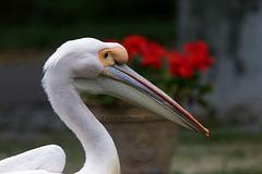 Pelikan im Profil (Wilhelma)