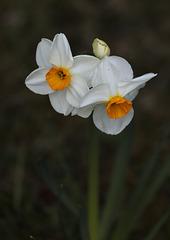Multiflore